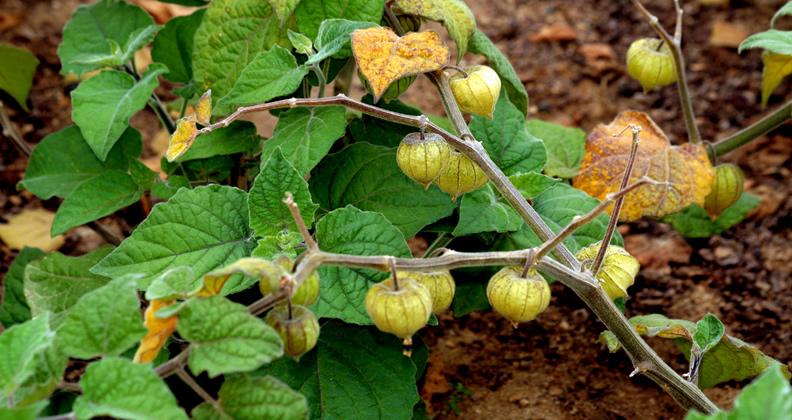 Como plantar e cultivar fisális (phisalis) – Plantas jardins e hortas