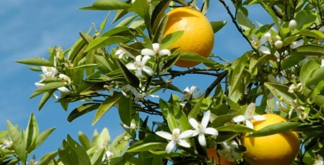 Sintomas de deficiência de Potássio nas laranjeiras e limoeiros – Plantas jardins e hortas