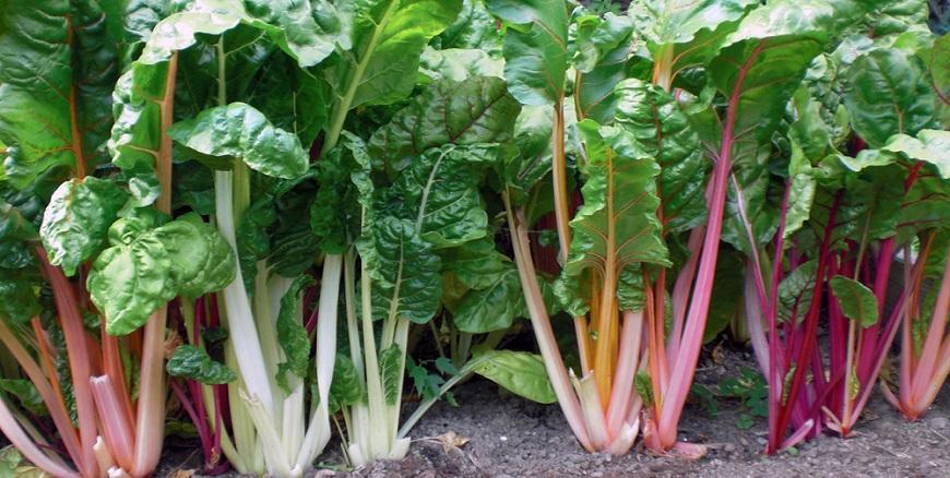 Como plantar acelga – cultivo de acelgas – Plantas jardins e hortas