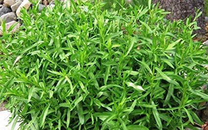 Como plantar e cultivar estragão em casa – Plantas jardins e hortas