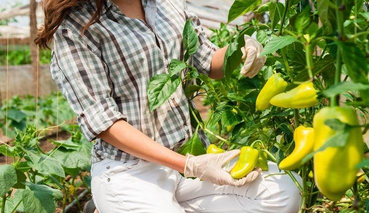 Como plantar pimentão, dicas e segredos. – Plantas jardins e hortas
